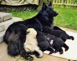 belgian shepherd rescue dogs 392 best belgian shepherd images on pinterest belgian shepherd