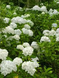 Flowering Privacy Shrubs - common flowering shrubs for zone 9 u2013 picking shrubs that bloom in