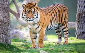 tiger in the jungle hd animals and birds wallpapers for mobile and