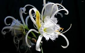 white lilies interesting white wallpaper flower wallpapers 52420