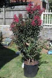tips for growing crepe myrtle trees in containers