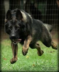 belgian shepherd kijiji 17 best images about gsd on pinterest beautiful dogs