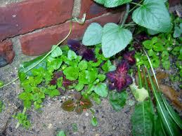 How To Grow Coleus Plants by Plant U2013 Coleus Seed Saving And Volunteers U2013 Minding My P U0027s With Q