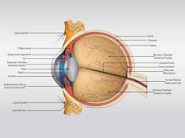 human eye anatomy an introduction and its functions my