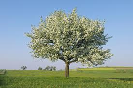 varieties of apple trees climate taste and resistance