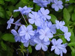 Blue Flower Vine - 22 best flowers for full sun heat tolerant flowers for