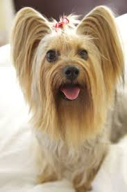 32 best yorki haircuts images on pinterest yorkie haircuts