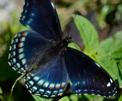 what s this small black and blue monarch butterfly doing near