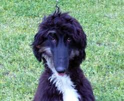 afghan hound owner reviews xedo afghan hound puppy for sale euro puppy