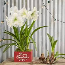 136 best amaryllis gifts images on wax bulbs and glow