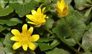 native ohio plants lesser celandine a botanical disaster ohio birds and biodiversity