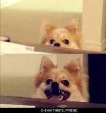 Pomeranian Meme - pomeranian meme i call it overly attached puppy xd animals