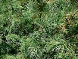 buy christmas tree best places to buy a christmas tree in the cities axs