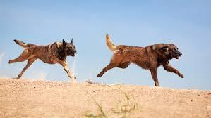 belgian shepherd malaysia america u0027s most energetic dog breed comes from belgium business