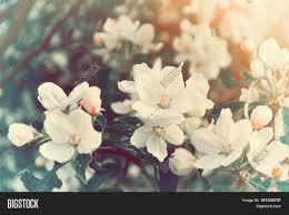 Image Of Spring Flowers by Spring Blooming Apple Flowers Natural Spring Flower Background