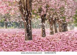 pink flower tree tunnel pink flower trees falling stock photo 628633070