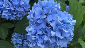 cape cod garden academy how to prune hydrangeas in spring youtube