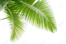 part of palm tree stock photo picture and royalty free image