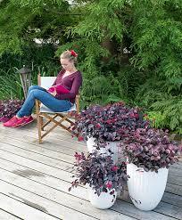 buy ornamental shrubs now fringe plant bakker