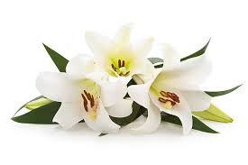 white lilies easter pictures images and stock photos istock