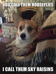 Corgi Puppy Meme - corgi funny z cute corgis pinterest corgi corgis and animal