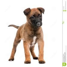 belgian sheepdog dog belgian shepherd dog against white background royalty free stock