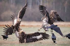 polish raptors the return natures images