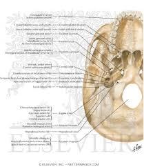 Base Of The Skull Anatomy Foramina Of Cranial Base Inferior View