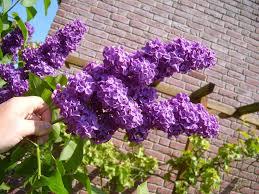 file lilac bush jpg wikimedia commons