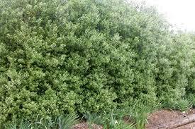 Flowering Privacy Shrubs - 7 excellent screening hedges a gardener u0027s thoughts u0026 fancies