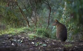 giant eucalyptus trees national geographic magazine