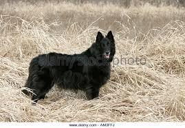 belgian sheepdog groenendael sale belgian sheepdog stock photos u0026 belgian sheepdog stock images alamy