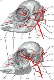 Vascular Anatomy Of The Brain Cranial Arteries Of The Alpaca Open Science