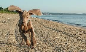 weimaraner vs afghan hound breed of the week weimaraner dog reflections