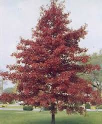 shade trees for sale turfsaverstreefarm southeast wisconsin
