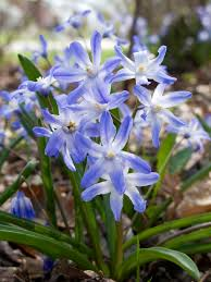 flowering bulbs bulbs more of illinois
