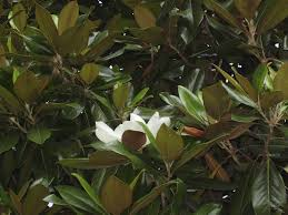 deciduous magnolia varieties learn about deciduous magnolia trees