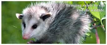 opossum removal in los angeles ca capture wildlife
