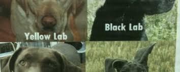 Chocolate Lab Meme - yellow lab black lab chocolate lab meth lab weknowmemes