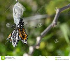 up of monarch butterfly emerging cocoon stock image image