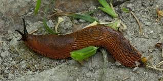 Types Of Garden Slugs Gardeners Beware As These Spanish U0027superslugs U0027 Invade British Gardens