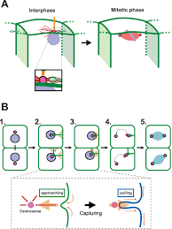 physical association between a novel plasma membrane structure and