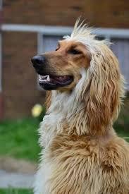 afghan hound grooming styles 746 best afghan hound images on pinterest afghans afghan hound