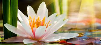 Lotus Flower In Muddy Water - wellness and symbol of the lotus flower inner balanceinner