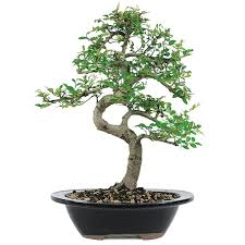 elm bonsai tree 7 years 8 to 12 in ceramic bonsai pot