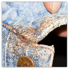 What Does Bed Bugs Eggs Look Like Bed Bug Fact Sheet King County
