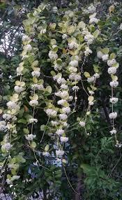 11 best hoya plants images on pinterest hoya plants cactus and