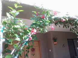 Mandevilla Plant Diseases - dipladenia plant in containers u2013 tjs garden