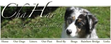 australian shepherd new hampshire chahar u0027s australian shepherds welcome