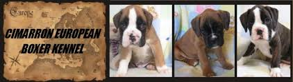 boxer dog european european boxer puppies for sale german champion sired health tested